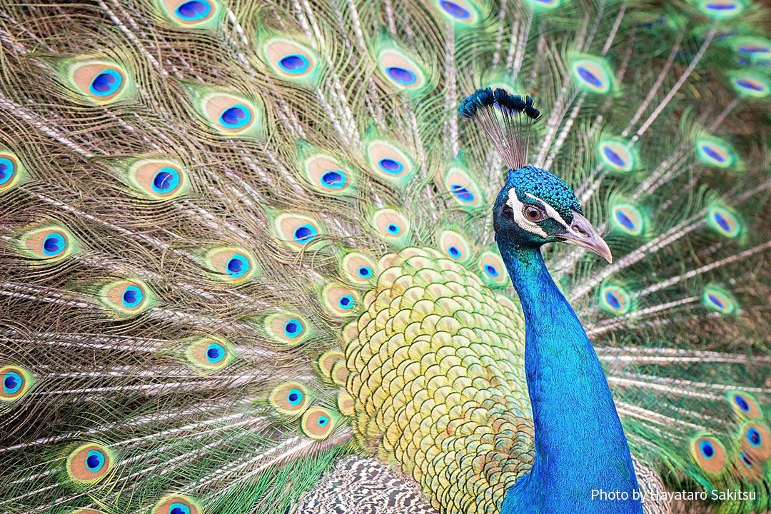 インドクジャク、ピーカケ(Pavo cristatus)  日本語名 インドクジャク(印度孔雀)