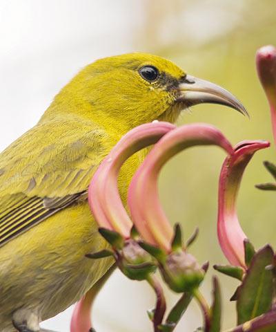 野鳥 | アヌヘア:ハワイの花・...