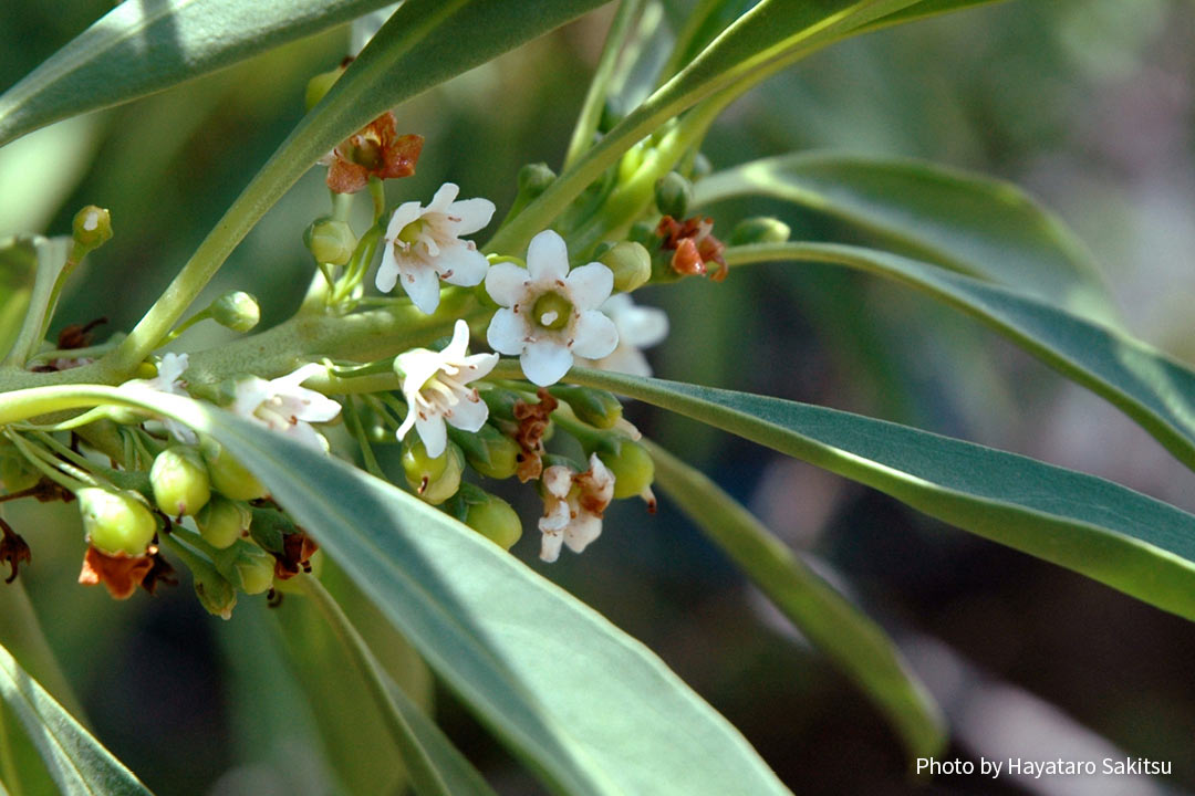 ナイオ(Myoporum sandwicense)