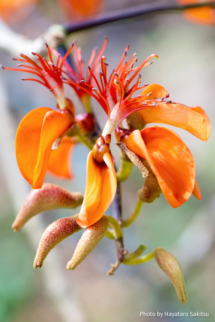 ウィリウィリ(Erythrina sandwicensis)